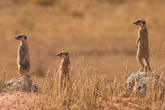 Suricates Stockbilder