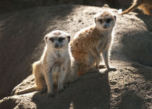 Suricates Stock Photography