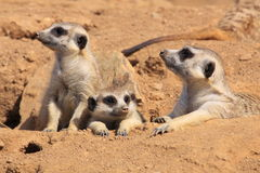 Suricates Stockbild