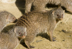 Suricates Photos stock