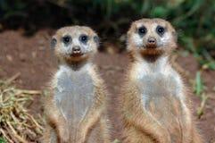 对suricates 免版税图库摄影