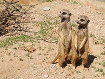 Suricates Royalty Free Stock Image