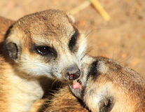 Suricates Royalty Free Stock Photo