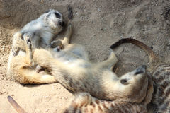 Suricates (Meerkats) Stockbild