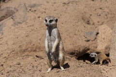 Suricates nest Royalty Free Stock Photos