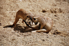 Suricates playing with egg box Royalty Free Stock Photography