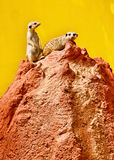Suricates on the red lava rock Stock Images