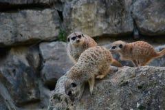 Suricates w akcji w zoo zdjęcia royalty free