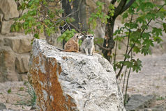 Suricates in a Zoo. Two Suricates or Meerkats (Suricata suricatta), sitting on a stone in a Zoo Stock Image