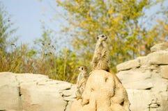 Suricato o meerkat | Suricata suricatta. Two suricatas in the Zoom park royalty free stock photos