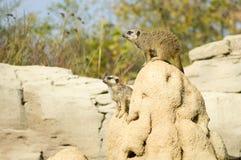Suricato o meerkat | Suricata suricatta. Two suricatas in the Zoom park royalty free stock photography