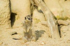 Suricato o meerkat | Suricata suricatta. A suricata in the Zoom park stock photography