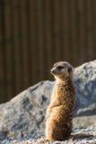 Suricato-vedetta mammifero Africano Stockfoto