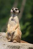 Suricatta animal Royalty Free Stock Photos