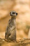 suricatta de suricata Images libres de droits