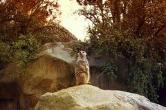 Suricatta de Suricata de Meerkat, également connu sous le nom de suricate Meerkat photos libres de droits