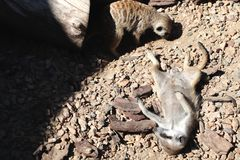 Suricatta de Suricata de Meerkat, animal indigène africain, petite carnivore appartenant à la famille de mangouste photos stock