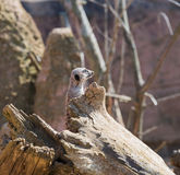 Suricatta del Suricata de Meerkat en Chester Zoo, Cheshire Fotos de archivo