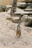 Suricatta del Suricata di Meerkat Fotografia Stock Libera da Diritti