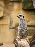 Suricatta del Suricata di Meerkat Immagine Stock Libera da Diritti