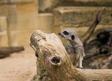 Suricatta del Suricata di Meerkat Fotografie Stock