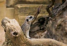 Suricatta del Suricata di Meerkat Fotografia Stock