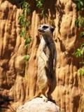 Suricatta diritto (meerkat) Fotografie Stock