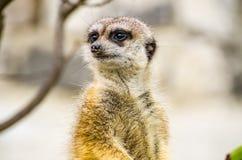 suricatta för meerkatsuricatasuricate Arkivbild