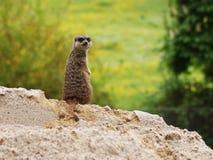 suricatta suricata Стоковые Фото