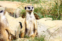 suricatta suricata Стоковая Фотография RF