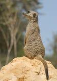 suricatta suricata στοκ εικόνα με δικαίωμα ελεύθερης χρήσης