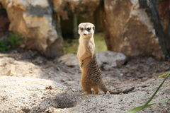 Suricatta Suricata Meerkat Стоковые Фото