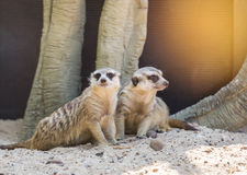 Suricatta suricata Meerkats Стоковое Фото