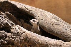 suricatta suricate suricata meerkat стоковое изображение rf