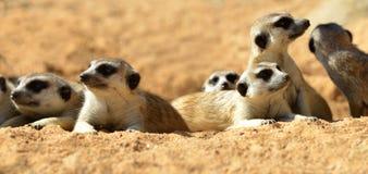 Suricatta sveglio del Suricata di Meerkat che si trova sulla sabbia Fotografia Stock Libera da Diritti