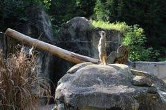 Surikat在动物园里 免版税库存图片