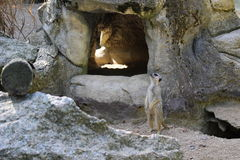 Surikat在动物园里 库存图片