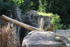 Surikat在动物园里 免版税库存照片