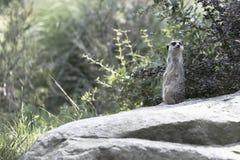 Surikat, das auf einem Felsen sitzt Stockfoto