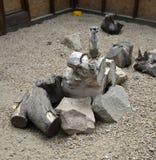 Surikat, o meerkata Foto de archivo libre de regalías