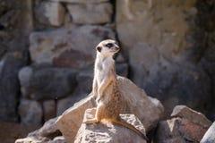 Surikata,海岛猫鼬类suricatta 提防dange的小非洲哺乳动物的meerkat或suricate 免版税库存照片