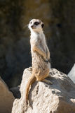 Surikata,海岛猫鼬类suricatta 提防dange的小非洲哺乳动物的meerkat或suricate 图库摄影