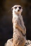 Surikata,海岛猫鼬类suricatta 提防dange的小非洲哺乳动物的meerkat或suricate 免版税库存图片