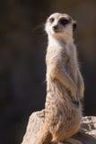 Surikata,海岛猫鼬类suricatta 提防dange的小非洲哺乳动物的meerkat或suricate 库存照片