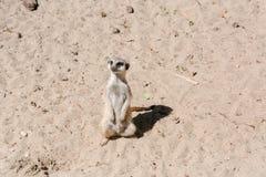 Surikata на песке Surikat в профиле Стоковое Изображение