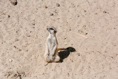 Surikata на песке Surikat в профиле Стоковое Фото
