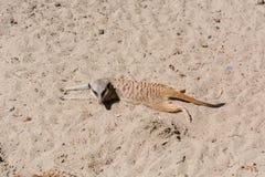 Surikata на песке Surikat в профиле Стоковое Изображение RF