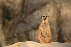 Surikata. Meerkat (also Meerkat, Meerkat mongoose, Suricata suricatta) is a daily living pospolite Mongooses ?elma.Surikata inhabits rocky and sandy areas of Royalty Free Stock Photography