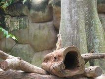 Surikata en un parque zoológico imagenes de archivo