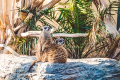 Surikata sit on stones among palm trees and are basked in the sun. Lovely wild animals from Africa. Inhabitants of the desert. stock photos